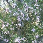 Wax Flowers (Eriostemon australis) on Wilkins Track (307529)