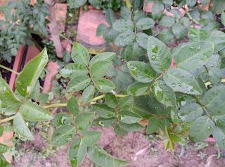 Hình dáng lá hồng tầm xuân (luôn có lá chét 7)