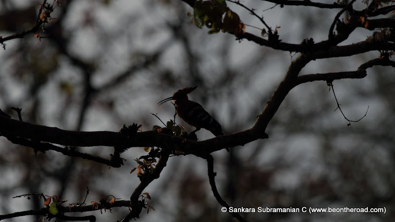 A common Hoopoe Silhouette