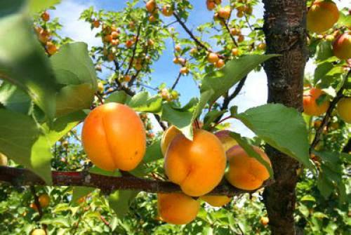 Apricotprunus