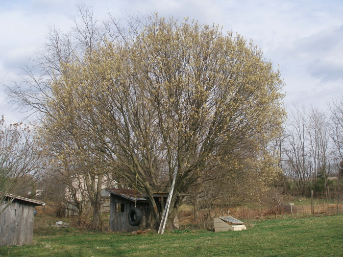 but did you know it comes from this pussy willow tree i probably show you this every year i just canu0027t get over it i never knew pussy willows to grow - Pussy Willow Tree