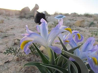המדבר פורח - אירוס בבורות לוץ