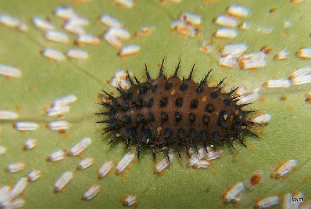 C renipustulatus larva