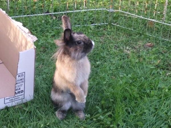 [adoptée]-Nala, lapine noire et marron, avec le bout du nez blanc Nala3-02582