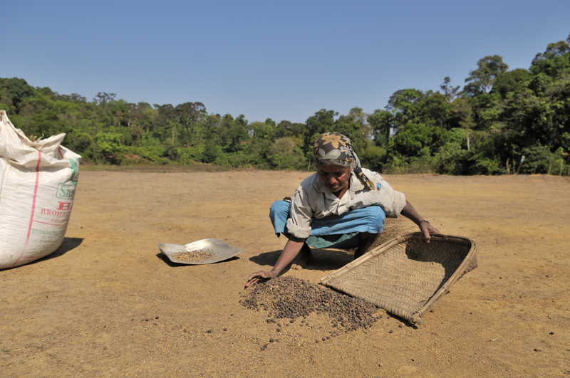 Coorg_coffee_drying