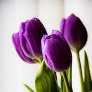 К чему снится тюльпан?