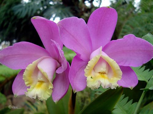 Растения из Тюмени. Краткий обзор - Страница 11 Cattleya_loddigesiiii