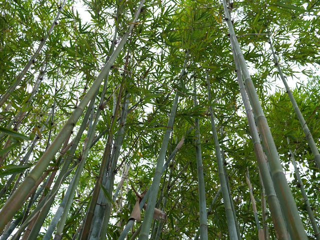 Bamboo at Beihu Park
