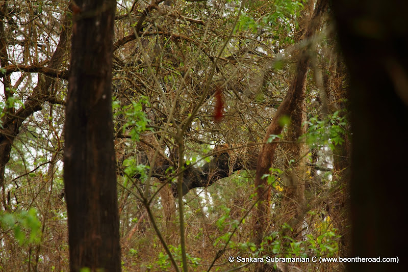 Leopard enjoys its siesta on top a tree branch at Nagarhole National Park