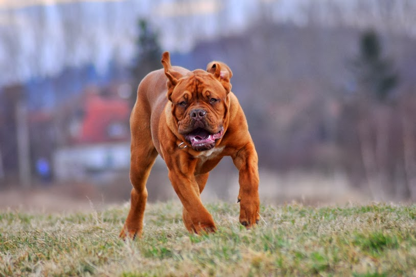 dogue de bordeaux romeo