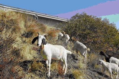 Đàn dê do Cal-Trans mướn để dẹp cỏ hoang