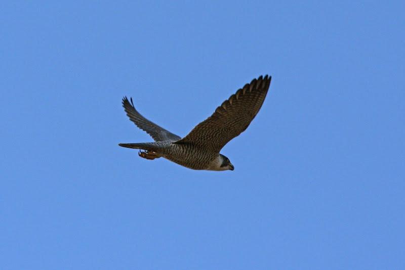 Falco peregrinus iarna Calarasi Iezer birdwatching pasari