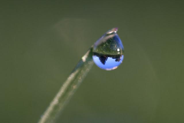 Pine Tree Dewdrop