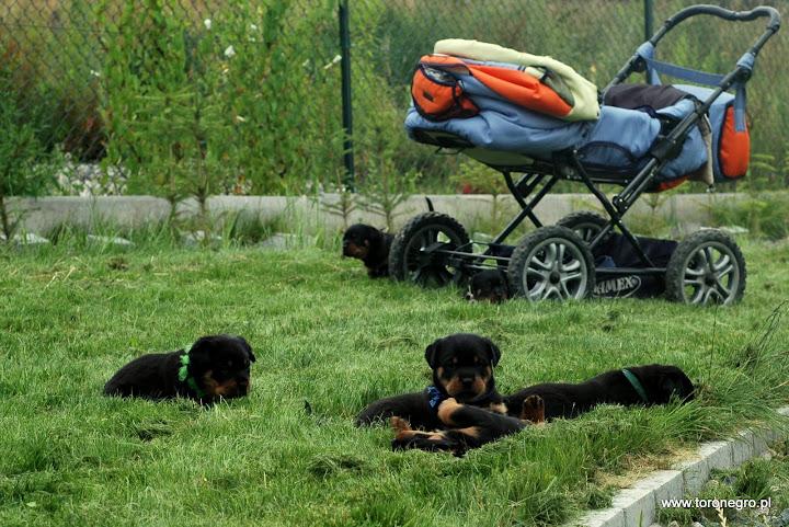 Rottweilery przy wózku dziecięcym piękne