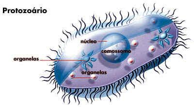 protistas, protozoarios