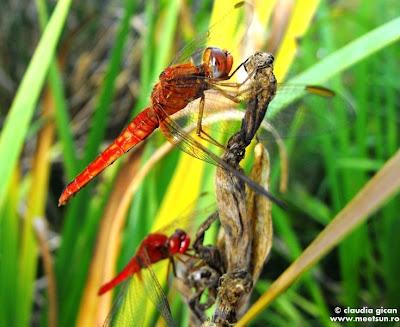 insecte din delta: libelule rosii