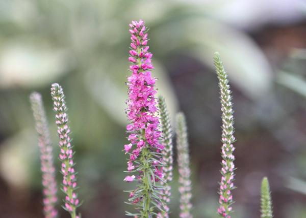 Vw Garden Spiky Veronica Hybrids