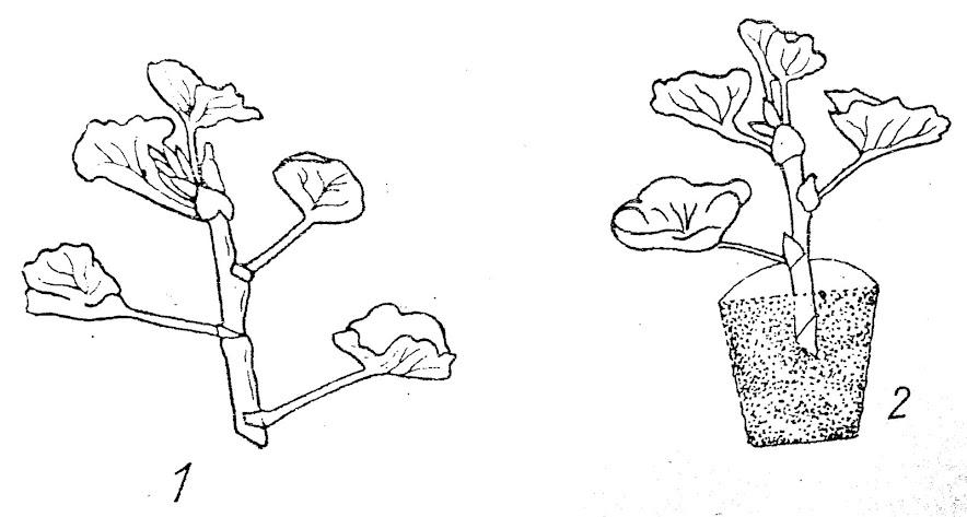 sadzonki pelargonii