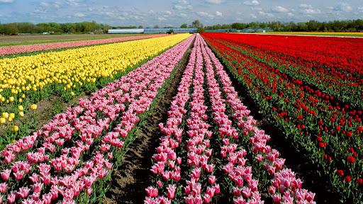 Lisse, Holland.jpg