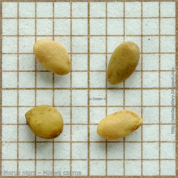 Morus nigra seeds - Morwa czarna nasiona