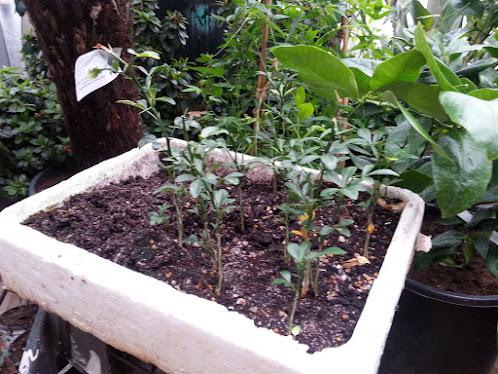 Poncirus trifoliata 20130323_095534%25280%2529