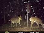 4 beautiful healthy whitetail louisiana deer at automatic feeder