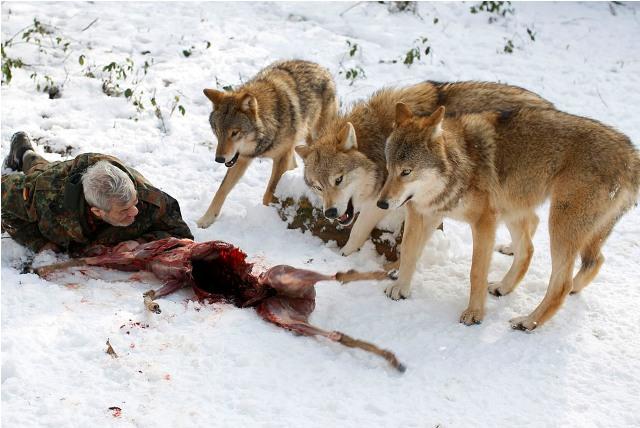 Foto Manusia dan Serigala