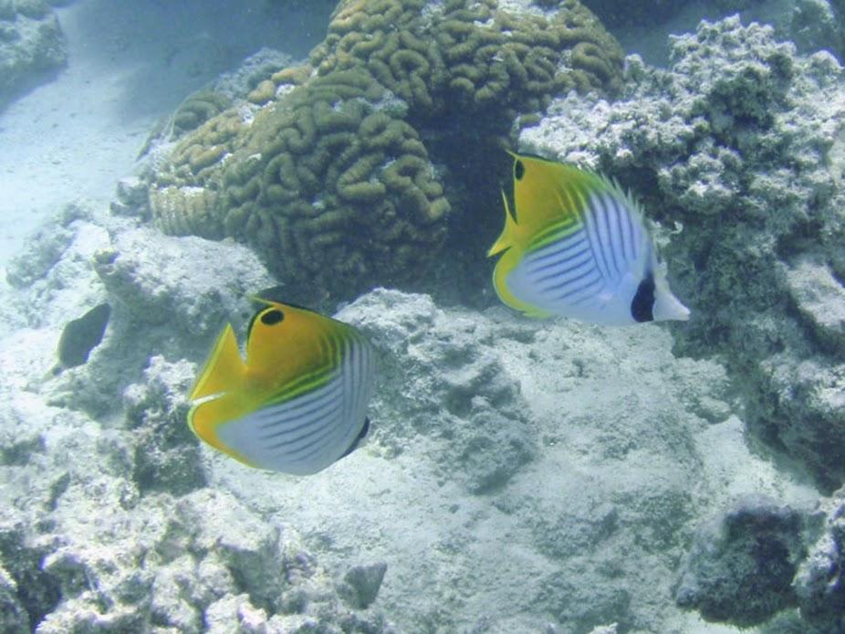 Chaetodon auriga (Auriga Butterflyfish), Aitutaki.