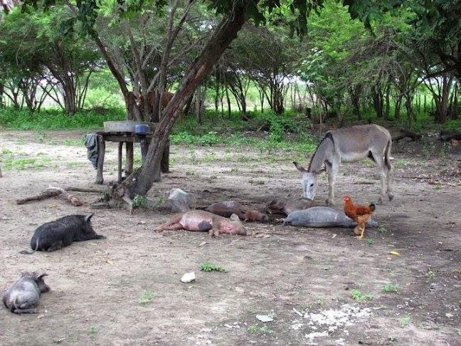 Finca Costeña Animales Descansando
