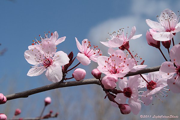Purple-leaf plum (Prunus Pissardii)