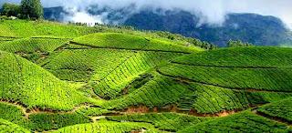 Čudovite plantaže čaja