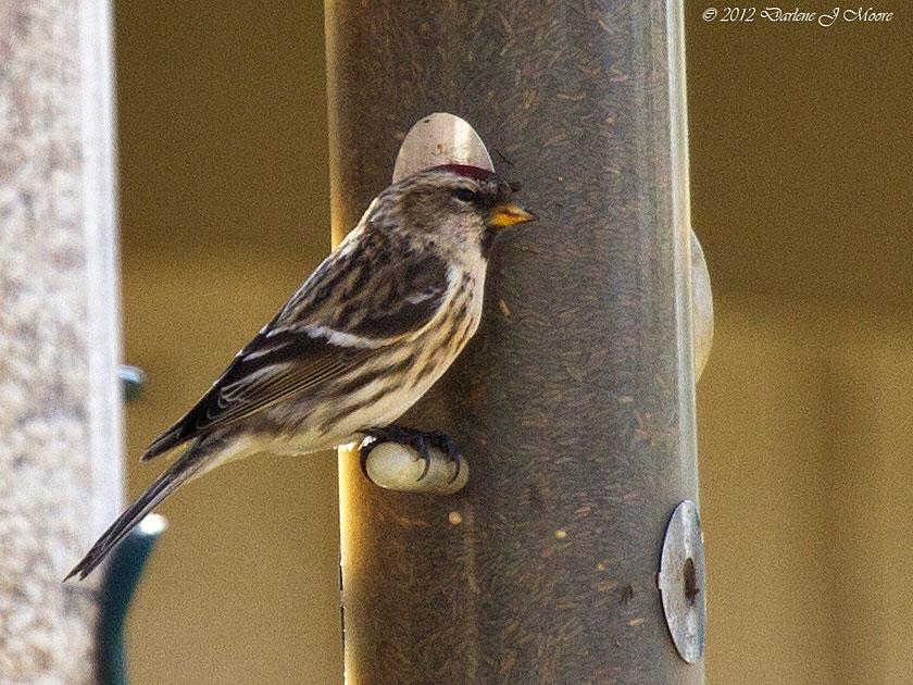 Orange Breasted Sparrow North-Central Texas Bi...