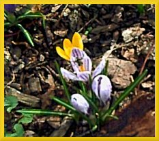 _bee on crocus