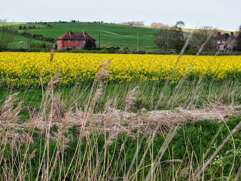 yellow fields in sussex