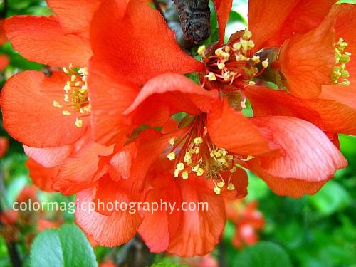 Red flowering quince-macro photo-Chaenomeles speciosa