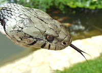 Image result for serpiente lengua