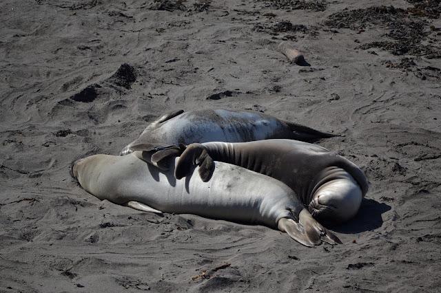 set of three elephant seals