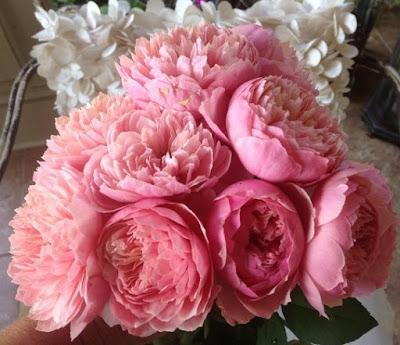 Hồng ngoại The Alnwick rose có thể sử dụng làm hoa cắt cành
