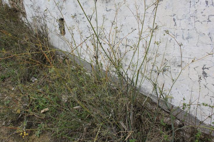 Agricultura ecol gica algarinejo usos caseros de nuestras for Cocinar hinojo