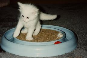 Monty as a kitten playing