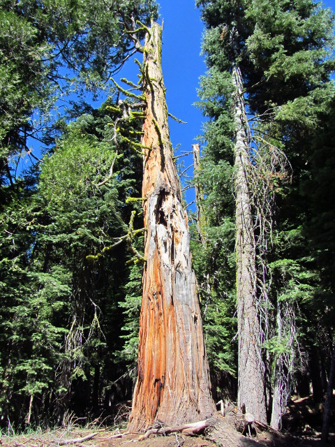 cedar tree with broken bits