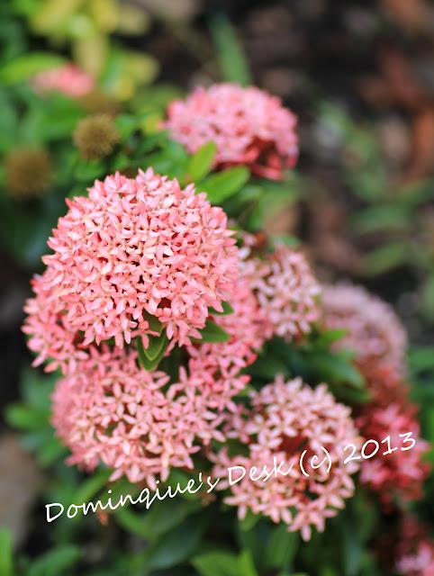 Ixora in bloom