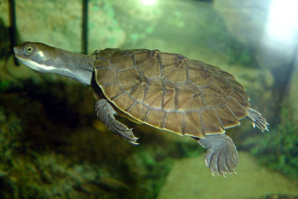 as with other turtle and tortoise species river turtles are