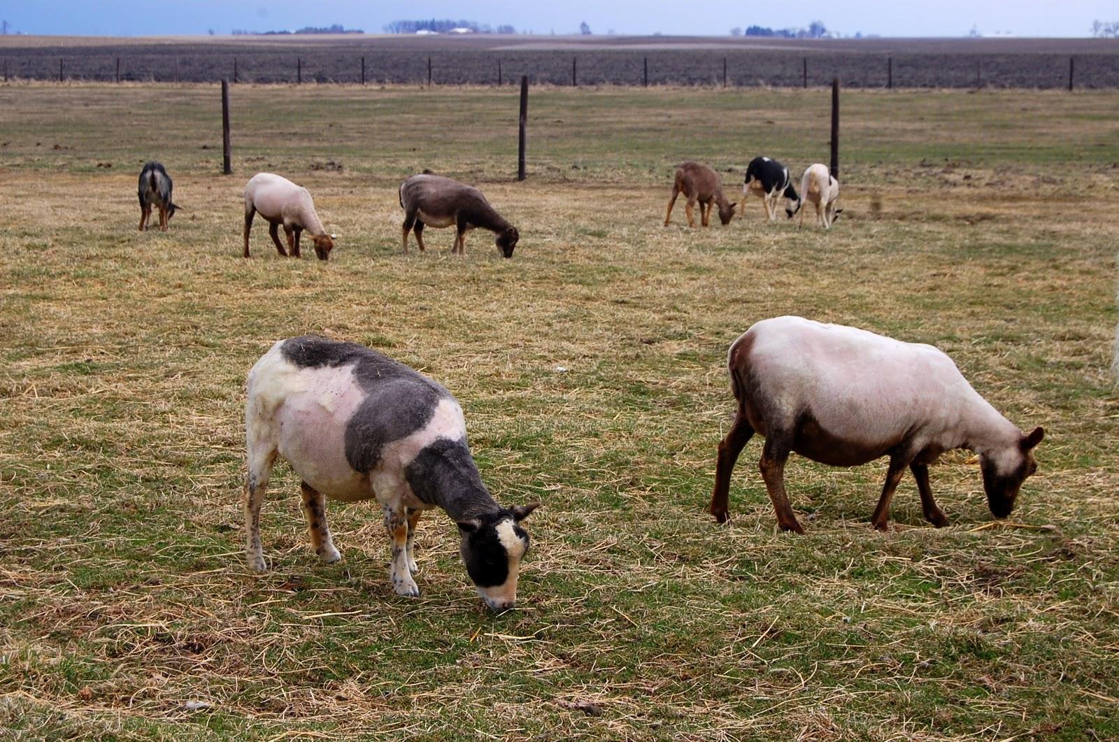 Crosswinds Farm: Naked sheep!