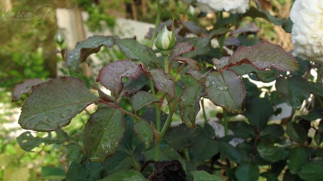 Nụ hoa hồng Patience Rose