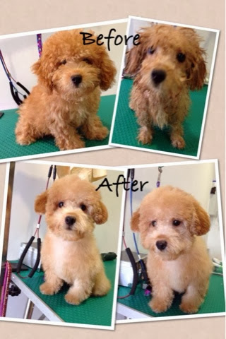 Dog Grooming Portfolio Toy Poodle Mobile Dog Stylists Pet