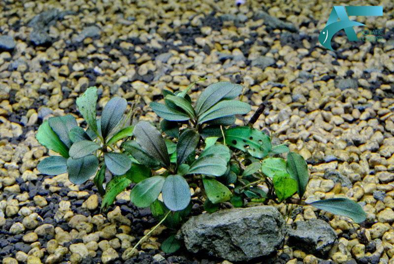 Cây thủy sinh Bucephalandra Kir Royale
