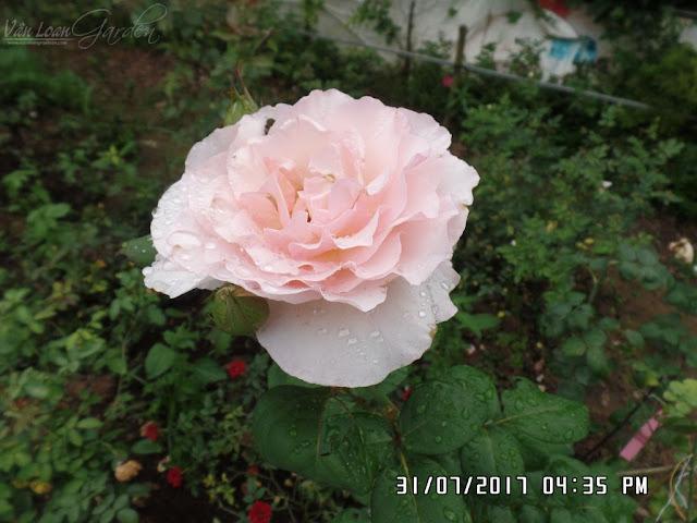Một bông hoa Haiku Romantika Rose khác nở sau một tuần
