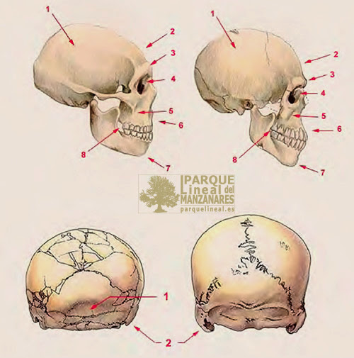 Comparación del cráneo neandertal y sapiens. Juan Luis Arsuaga.