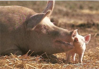 Chińska świnka